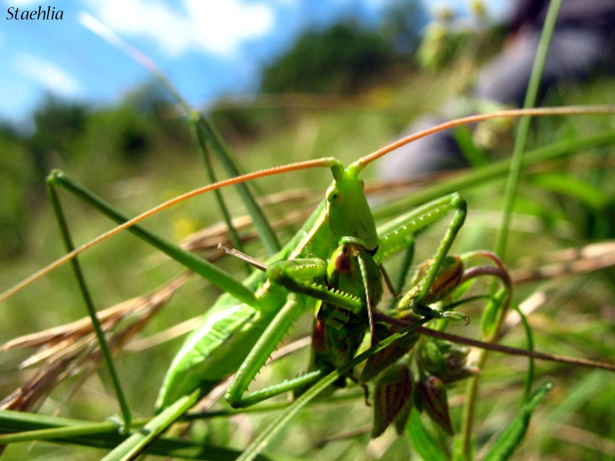 Saga pedo (Tettigonioidea, Orthoptera)